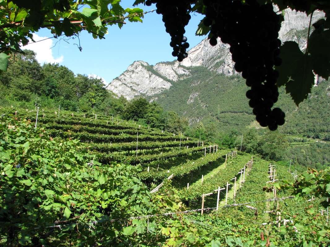 Teroldego Rotaliano: the vine that tastes like legend, worthy of a fiction